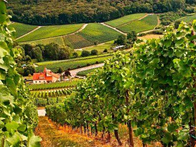 Виноградные поля Болгарии