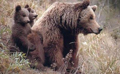 prin_bear